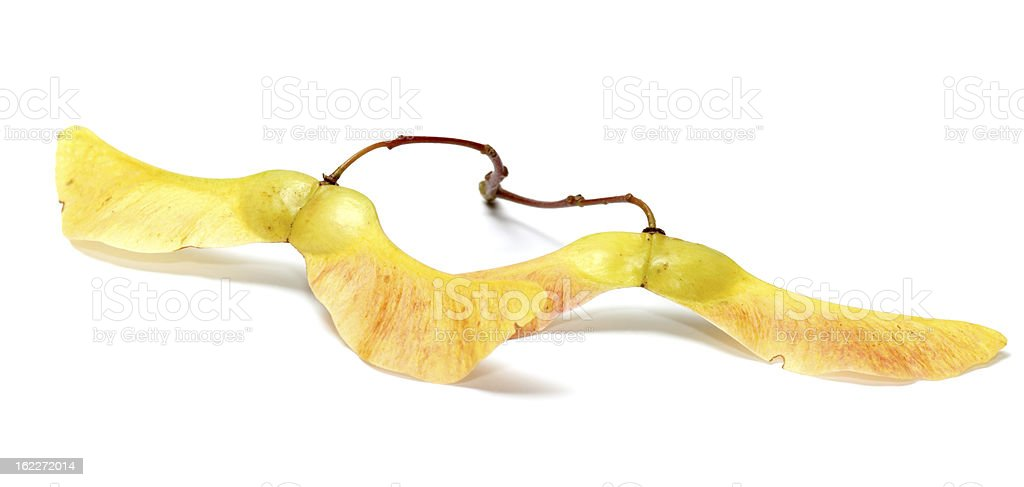 Maple seeds. royalty-free stock photo