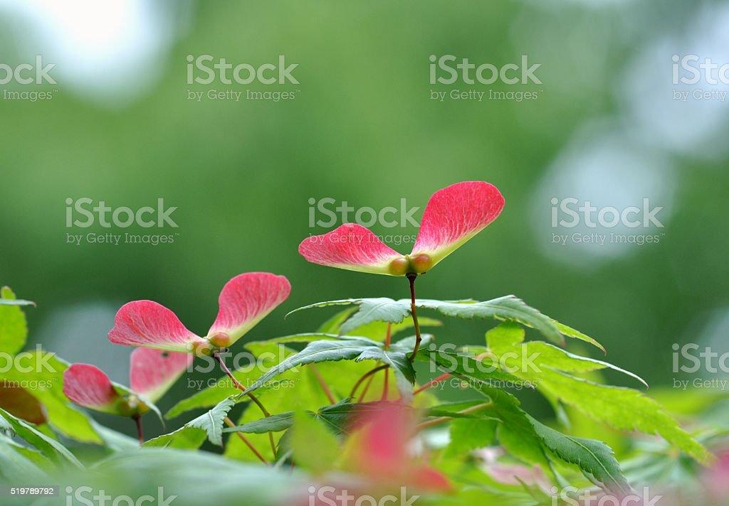 Maple seeds stock photo