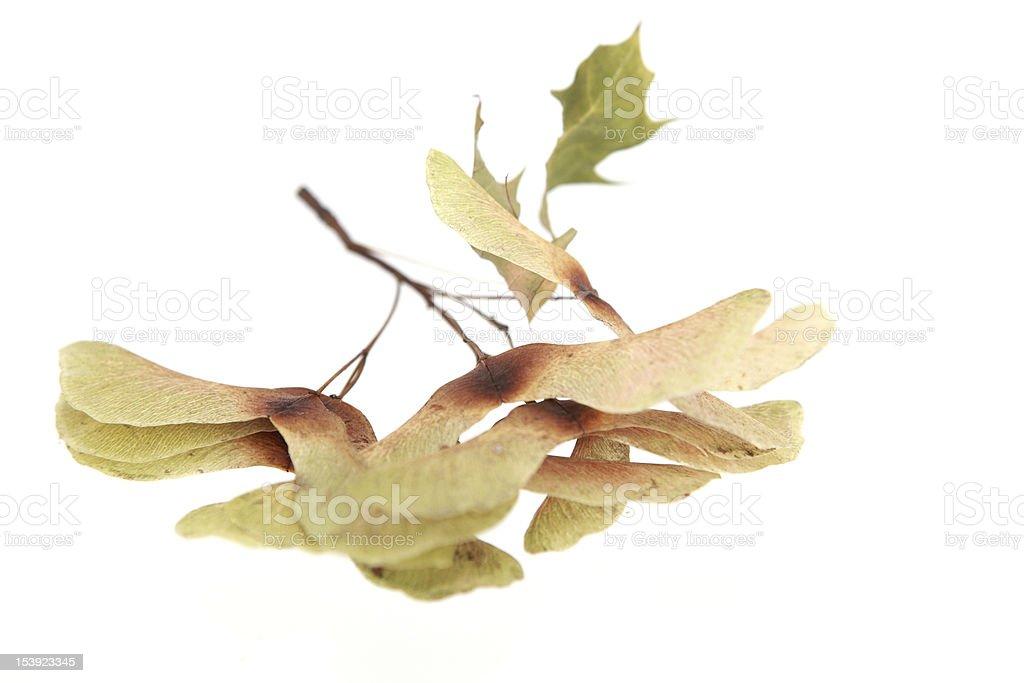 Maple Seeds XXXL royalty-free stock photo