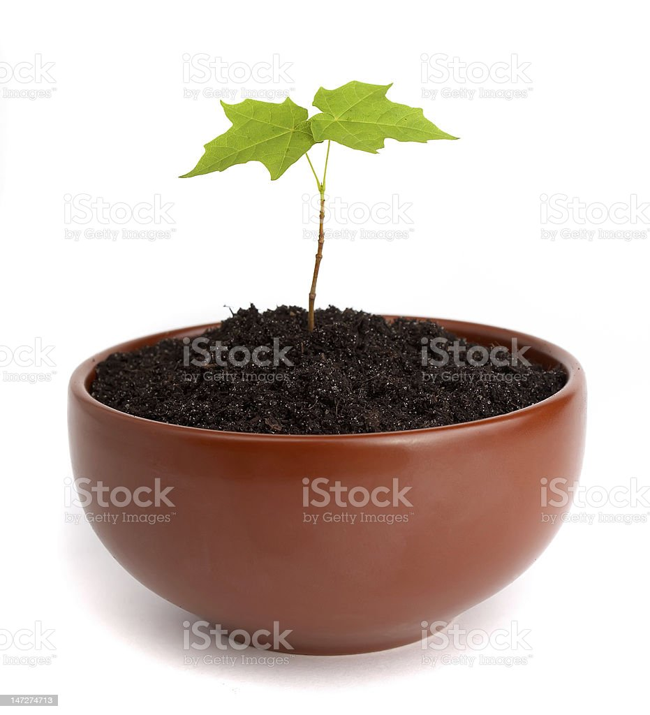 maple shoot in a clay cup royalty-free stock photo