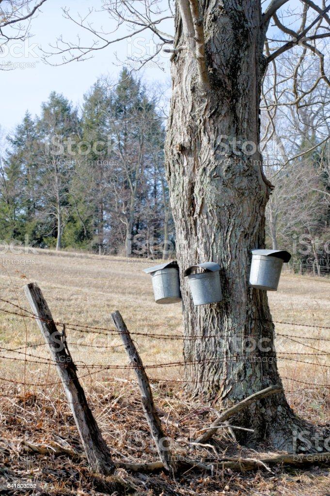 Maple Sugar Buckets Hanging From Tree Gathering Sap stock photo