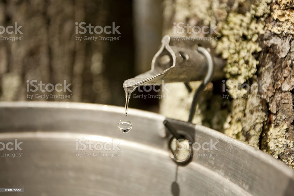Maple Sugar Tap stock photo