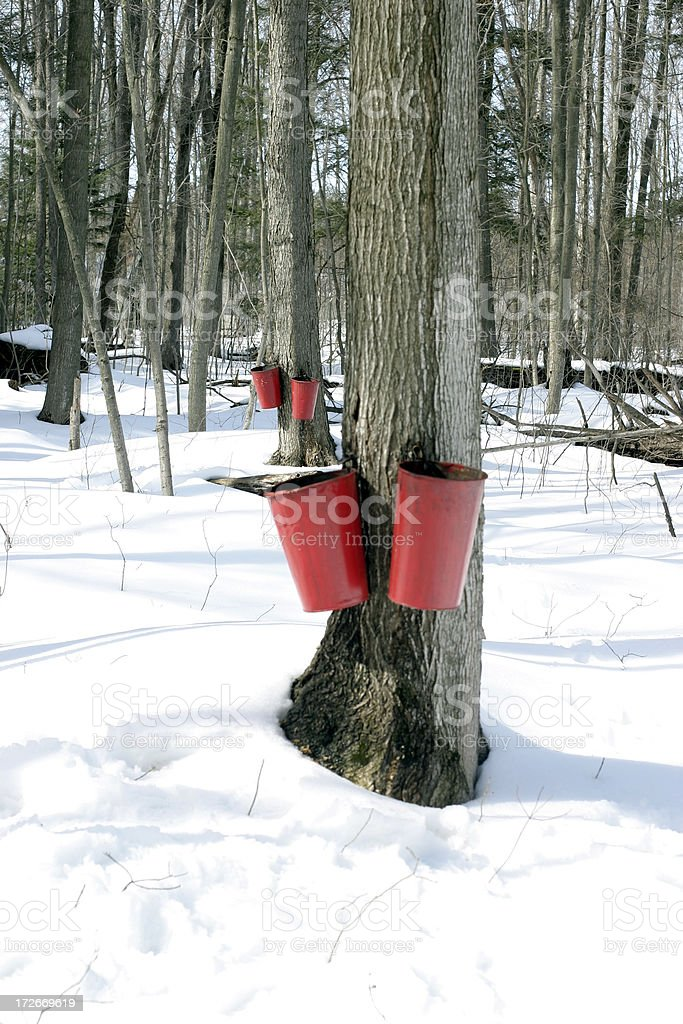 Maple sugar tree tapping stock photo