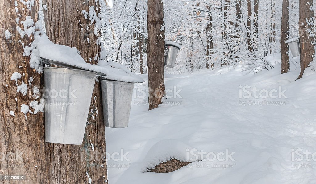 Maple syrup collection buckets.  Snow covered sugar shack woods. stock photo