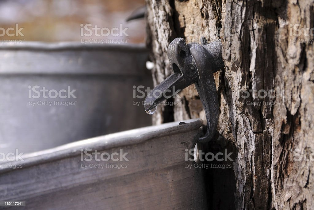 Maple Syrup Harvest stock photo