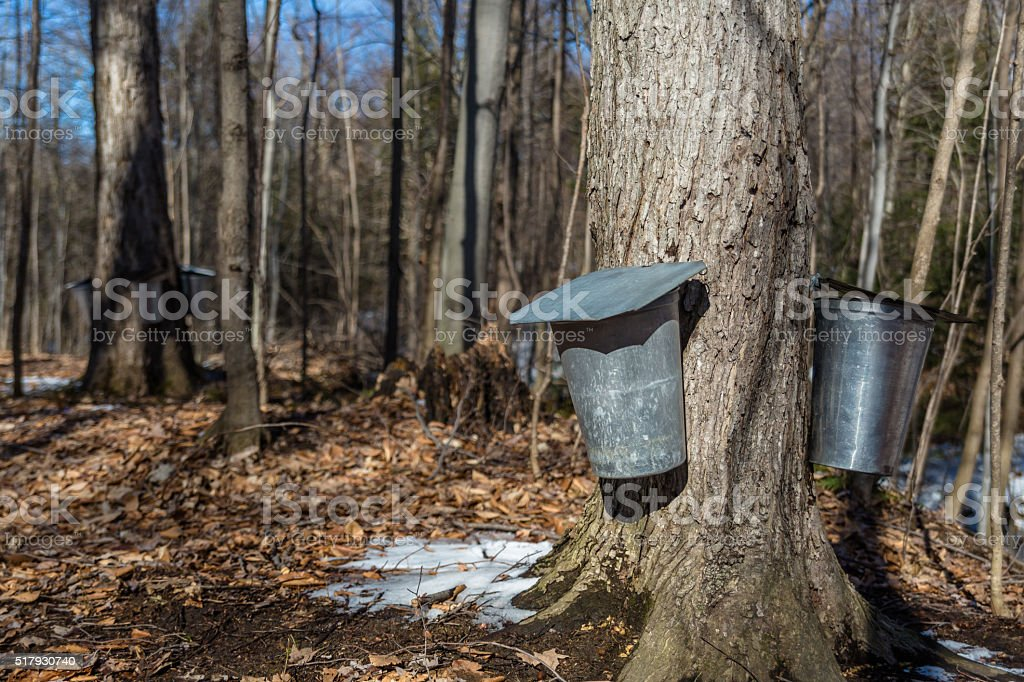 Maple Syrup Season stock photo