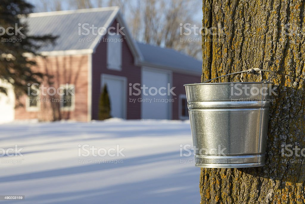 Maple Syrup Tapping stock photo