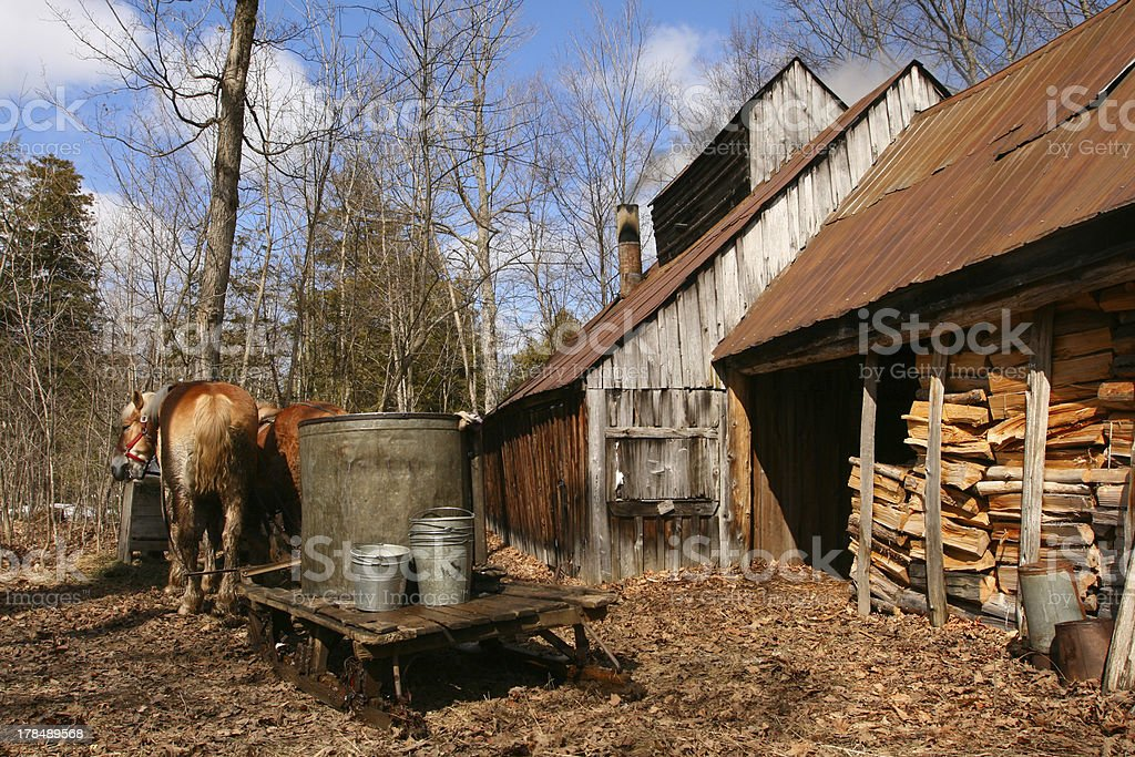 Maple Syrup time in the sugar bush stock photo