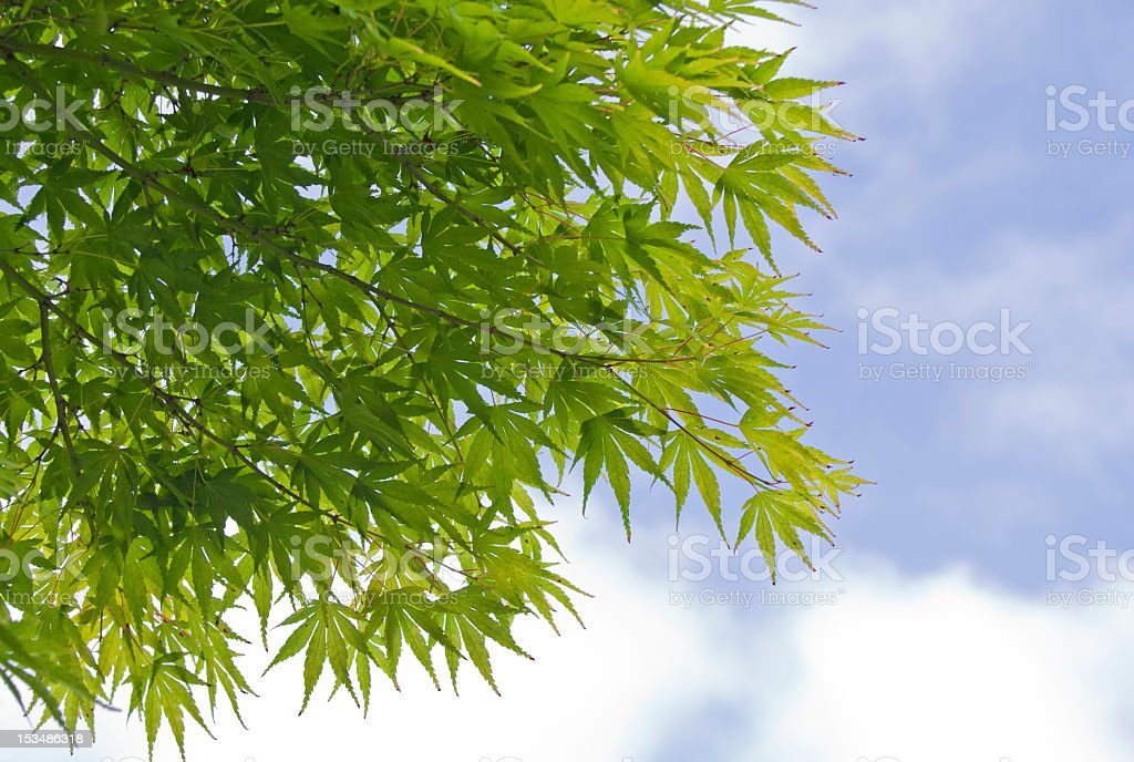 Maple Tree against blue Sky with Clouds stock photo