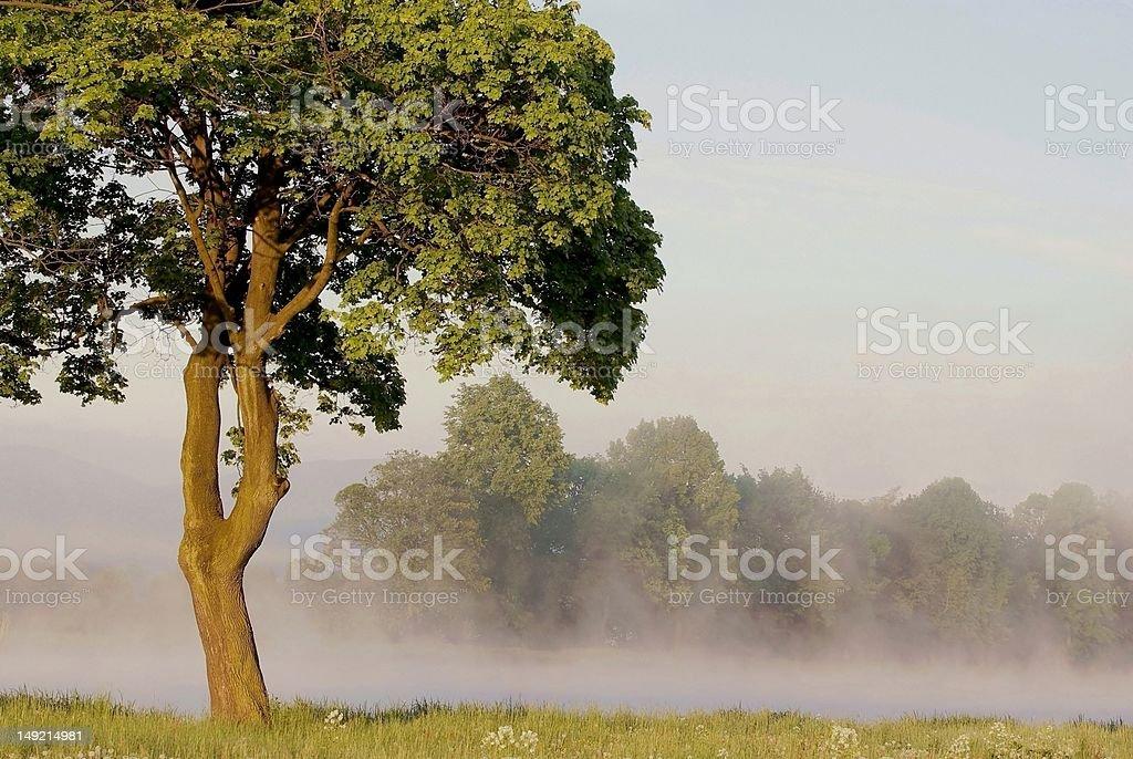 Maple tree at dawn royalty-free stock photo