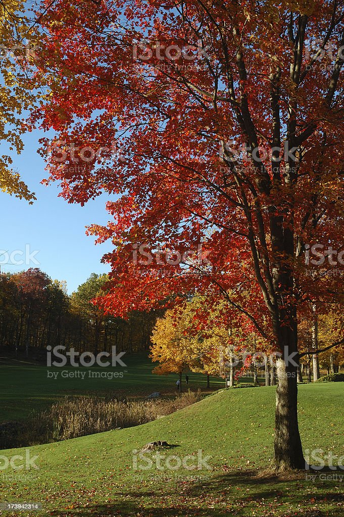 Maple tree -Autumn at golf course royalty-free stock photo