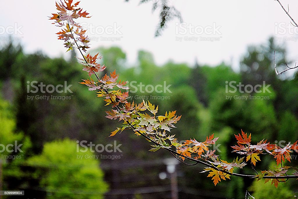 Maple tree Branch in fall royalty-free stock photo
