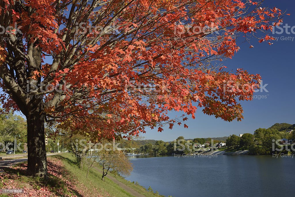 Maple Tree by River stock photo