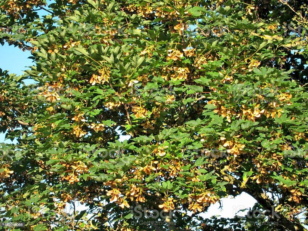Maple tree foliage stock photo