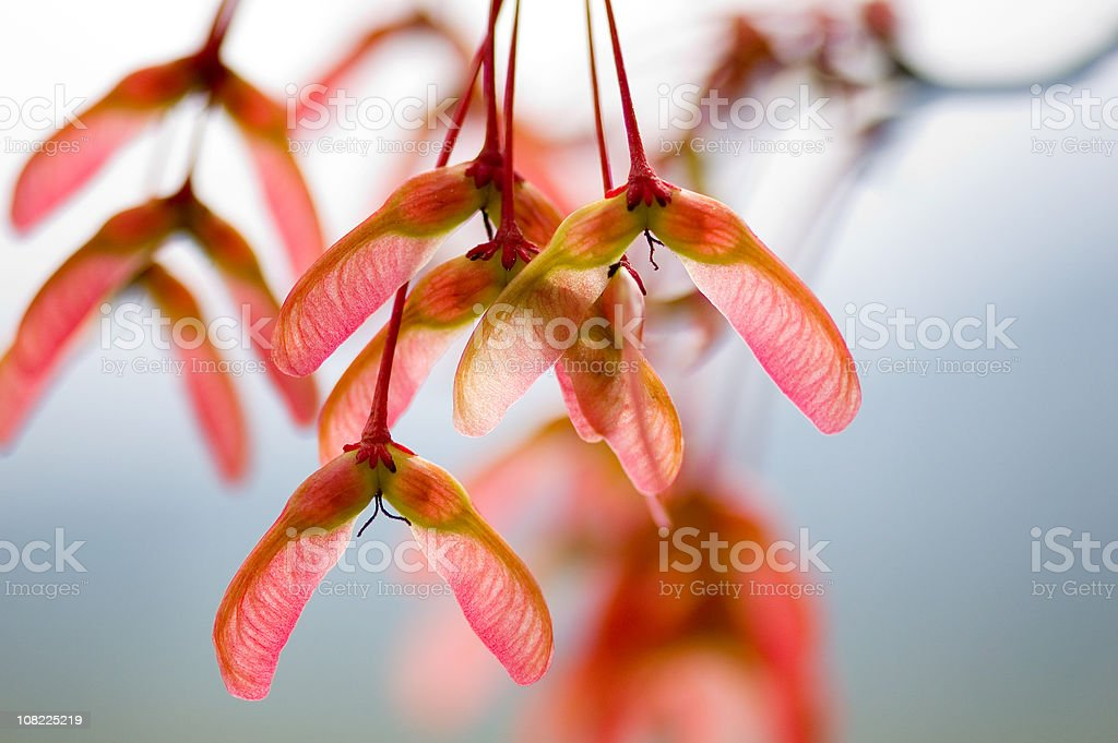 Maple tree helicopter seeds royalty-free stock photo
