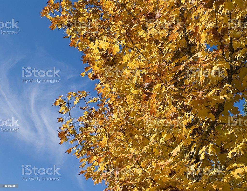 Maple tree in autumn color stock photo