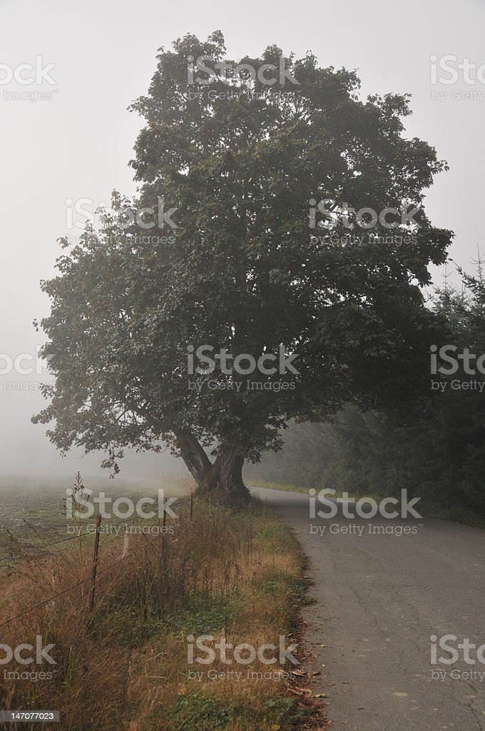 Maple Tree in Fog on a Country Road stock photo