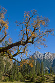 maple tree in Karwendel mountains