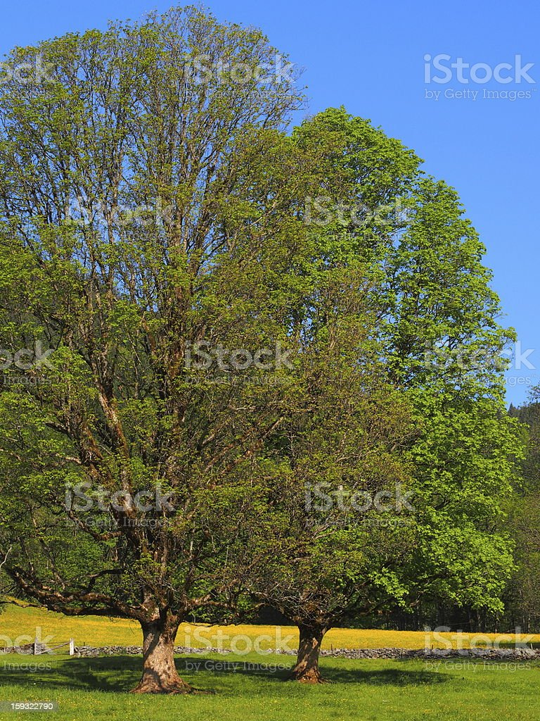 maple tree in spring stock photo