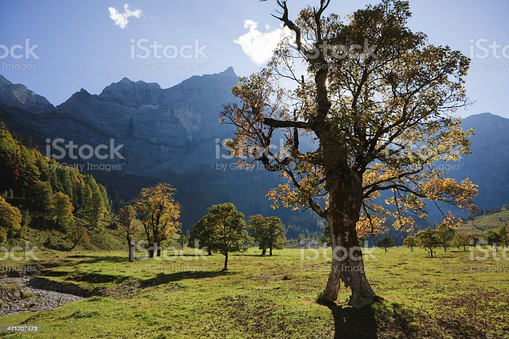 Maple Tree in the Austrian Alps - Karwendel XXXL royalty-free stock photo