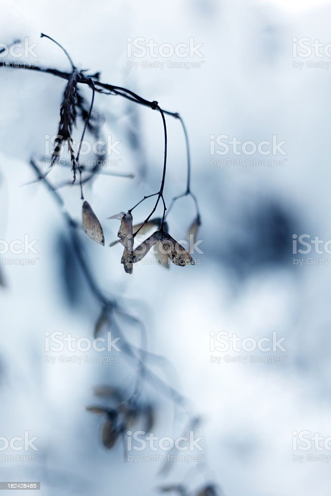 Maple Tree in Wintertime royalty-free stock photo