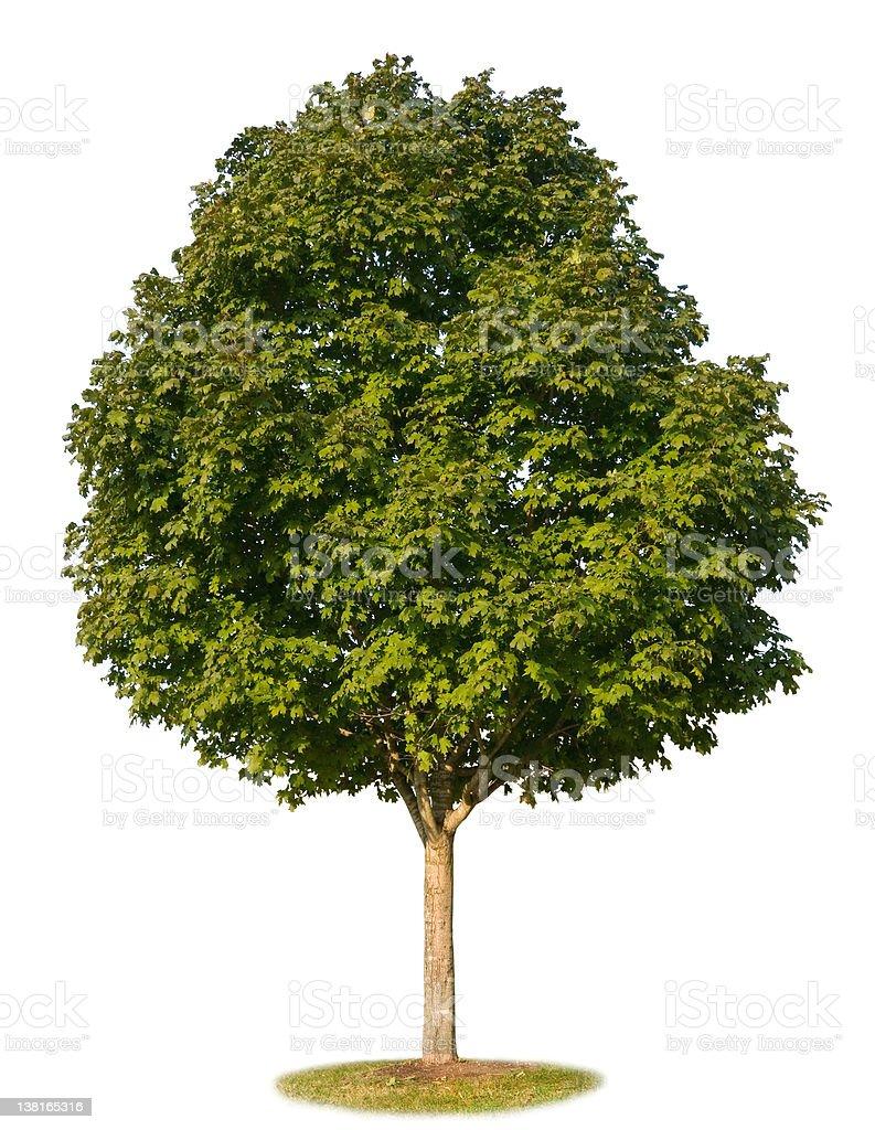 Maple Tree Isolated royalty-free stock photo