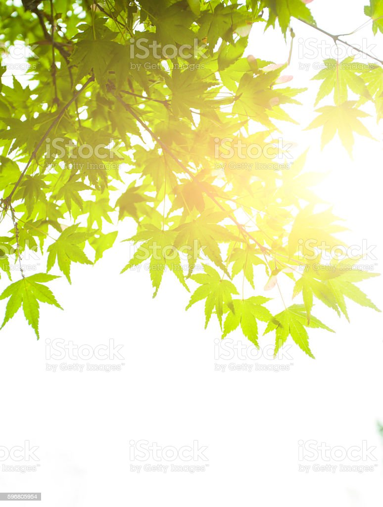 Maple tree leaves and sunlight stock photo