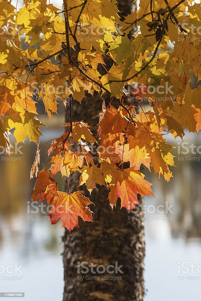 Maple tree leaves royalty-free stock photo