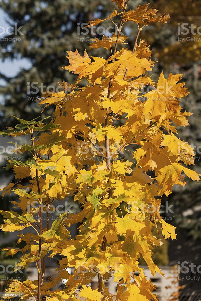 Maple tree royalty-free stock photo