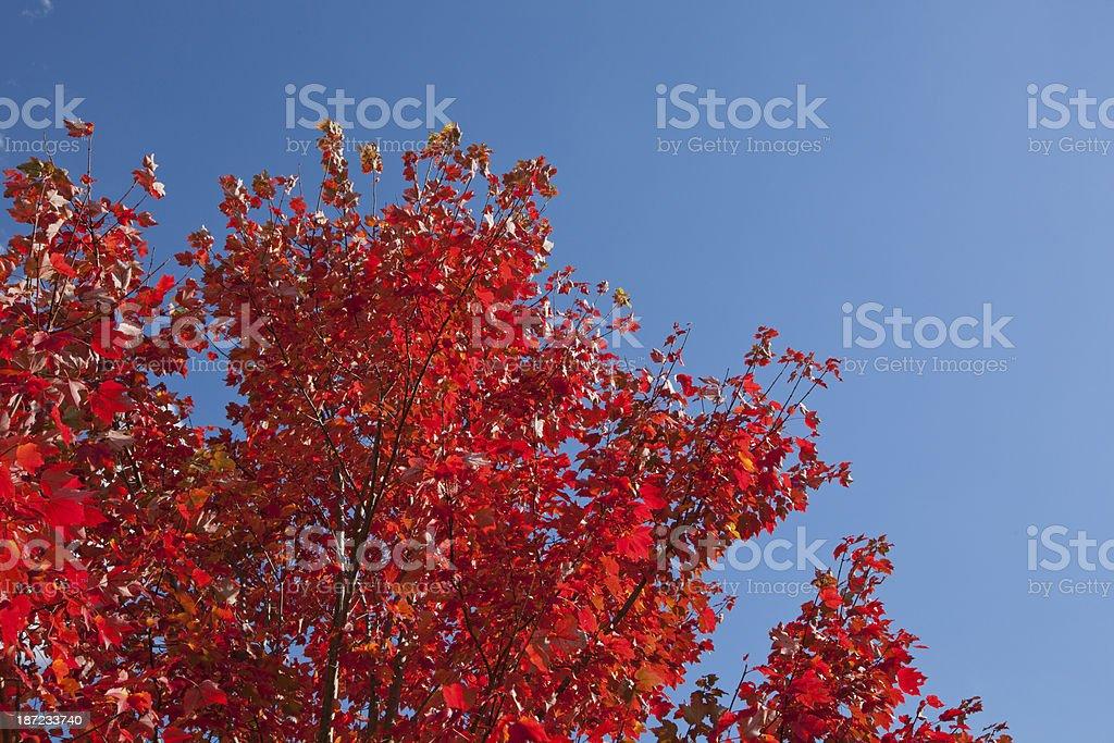Maple Tree royalty-free stock photo