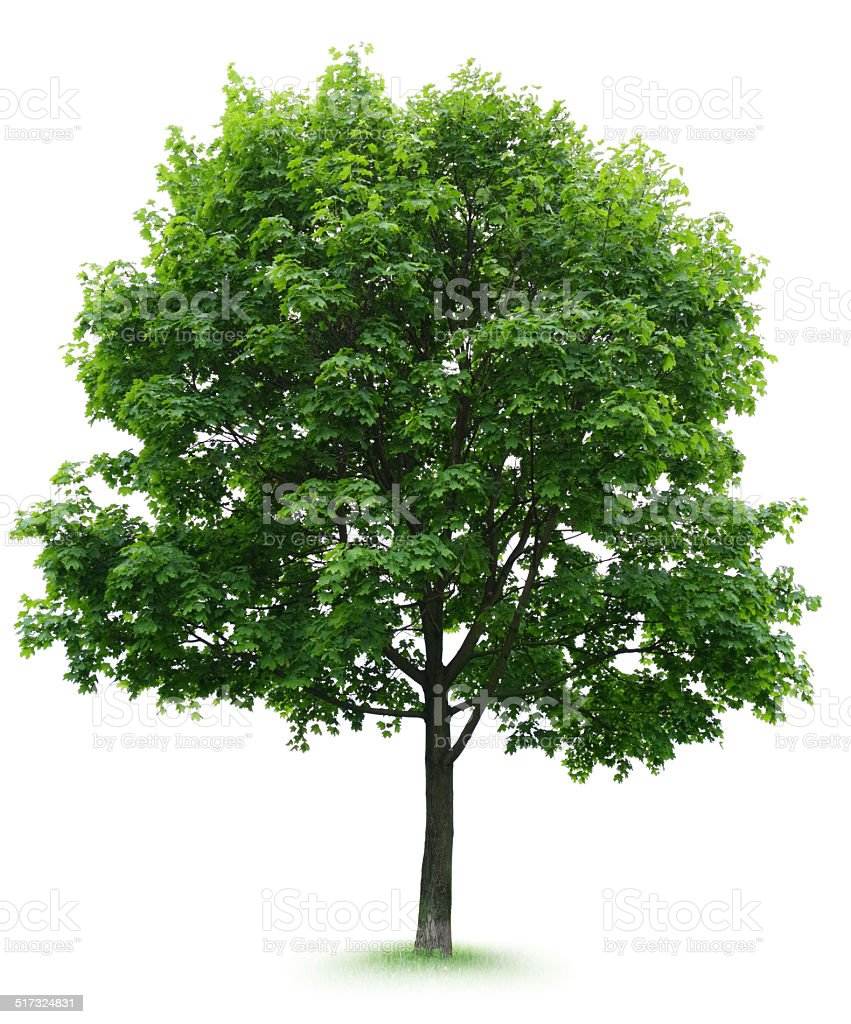 Maple Tree stock photo