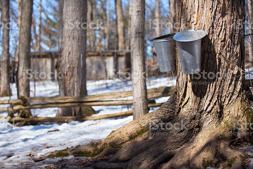 Maple tree sap stock photo