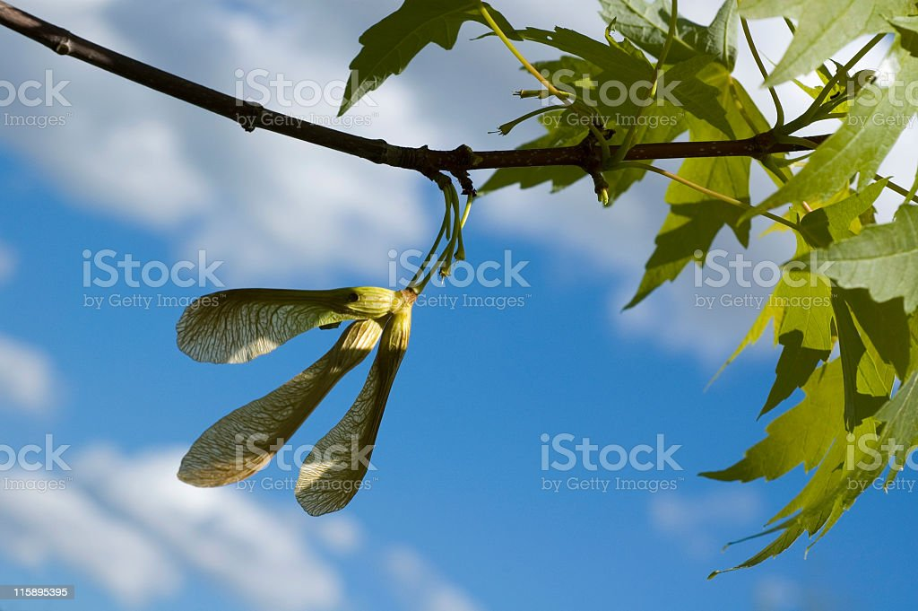 Maple Tree Seed Pods royalty-free stock photo