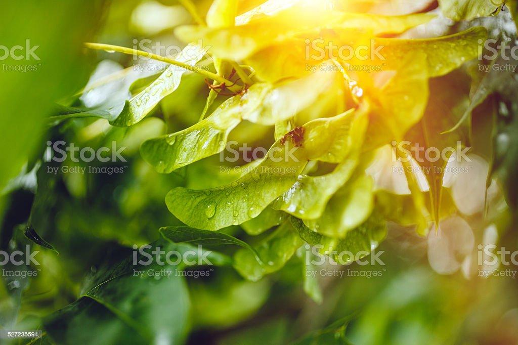 Maple Tree Seed Pods stock photo