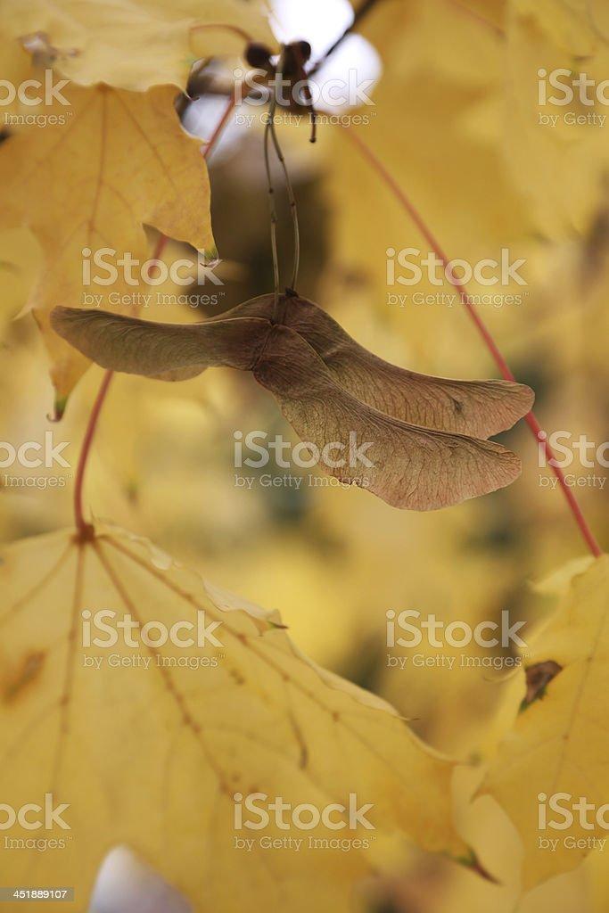 maple tree seeds royalty-free stock photo
