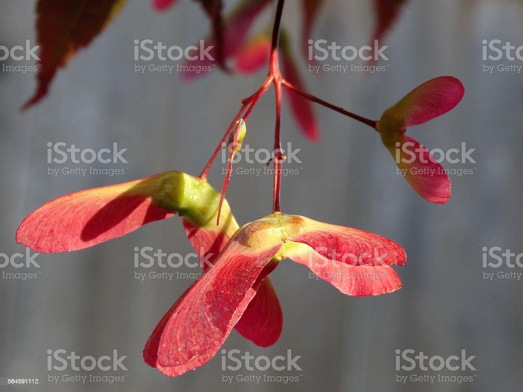 Maple tree seeds stock photo