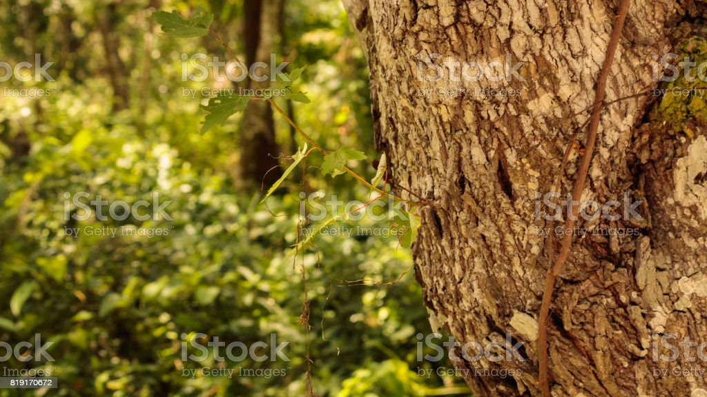 Maple tree sprout growing from the maple tree trunk stock photo