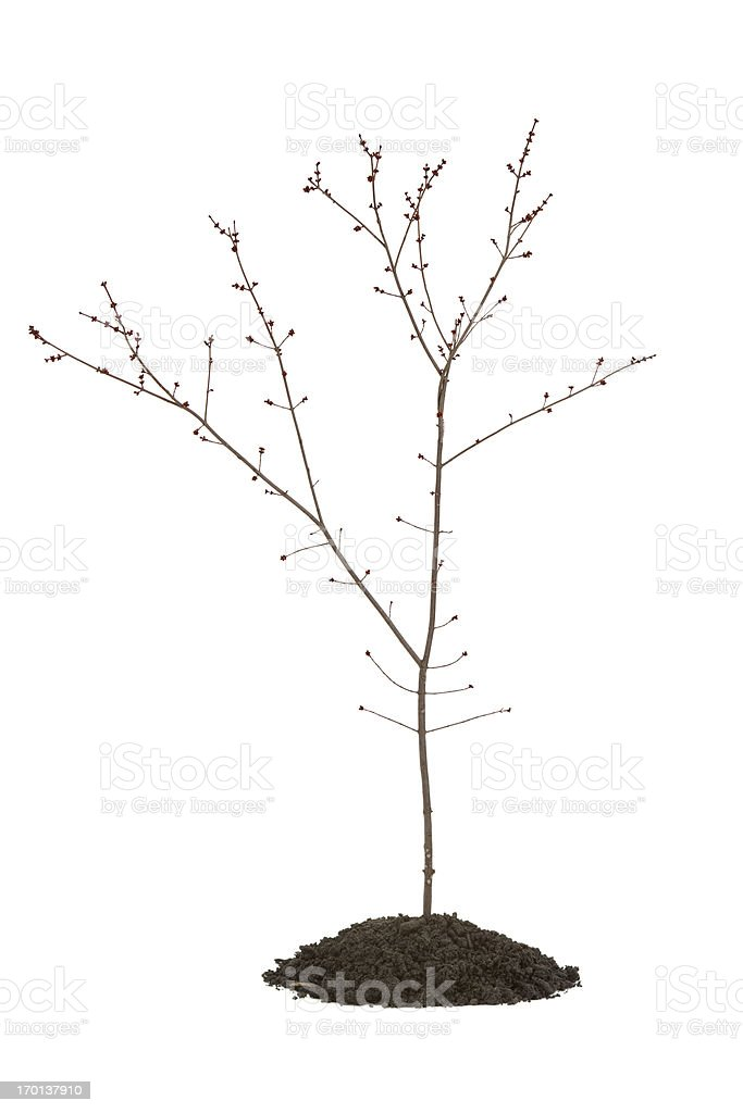 Maple Tree with Buds royalty-free stock photo