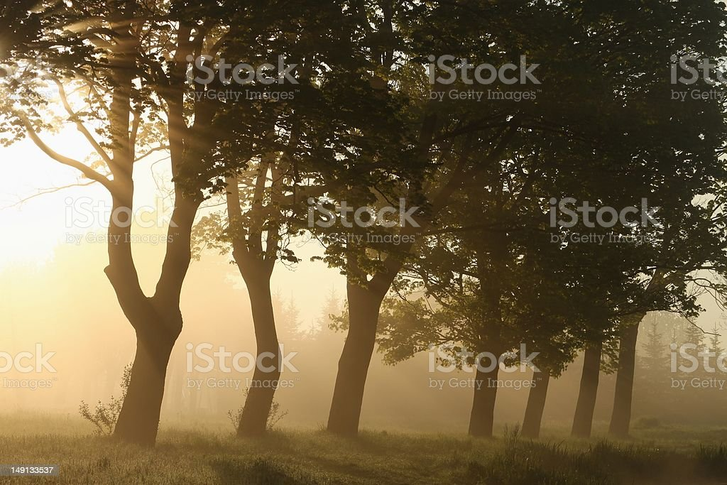 Maple trees at dawn royalty-free stock photo