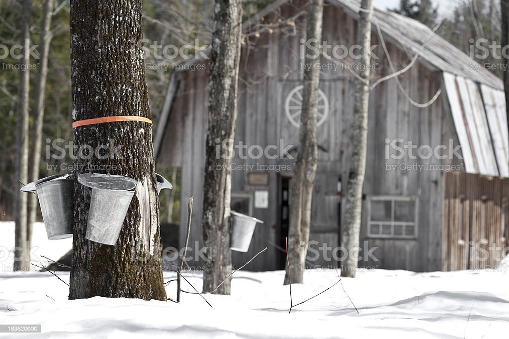maple trees in spring, cabane a sucre stock photo