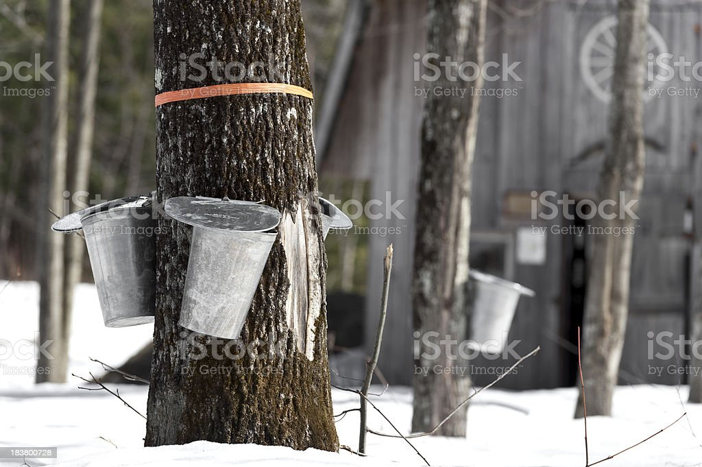 maple trees in spring, cabane a sucre syrup stock photo