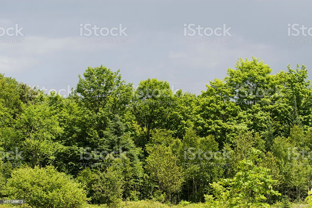 Maple trees stock photo