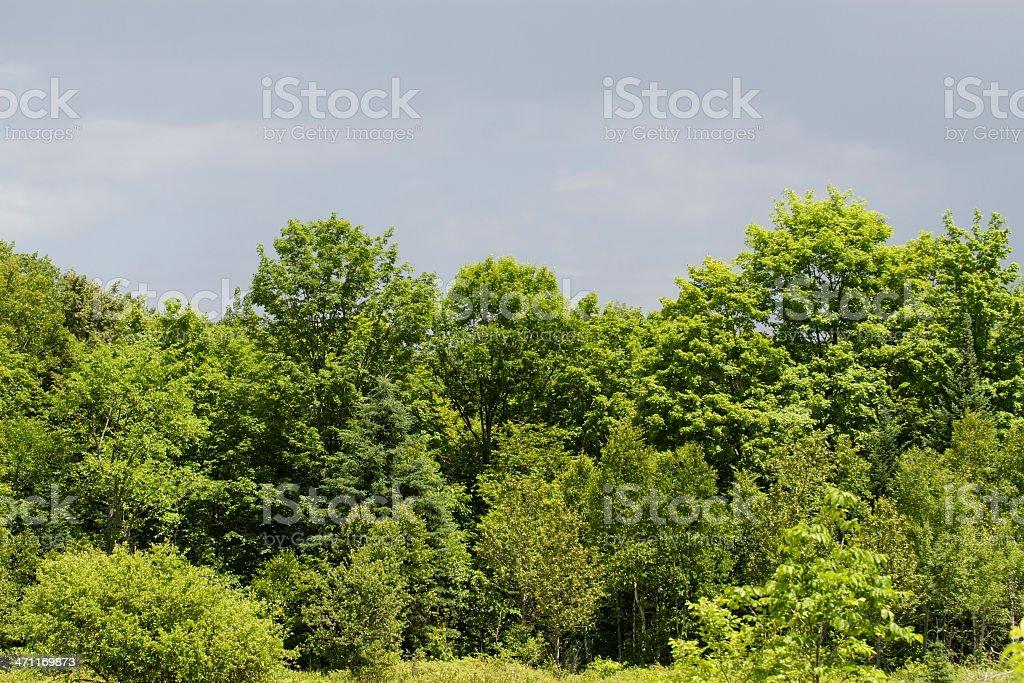 Maple trees stock photo