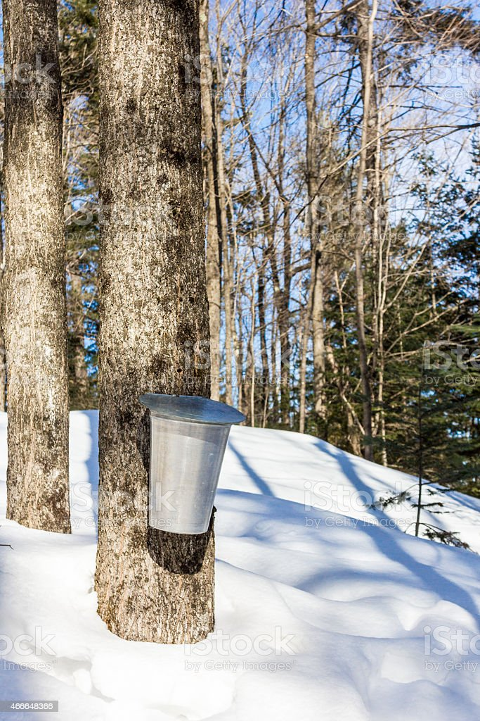 Maple water bucket stock photo