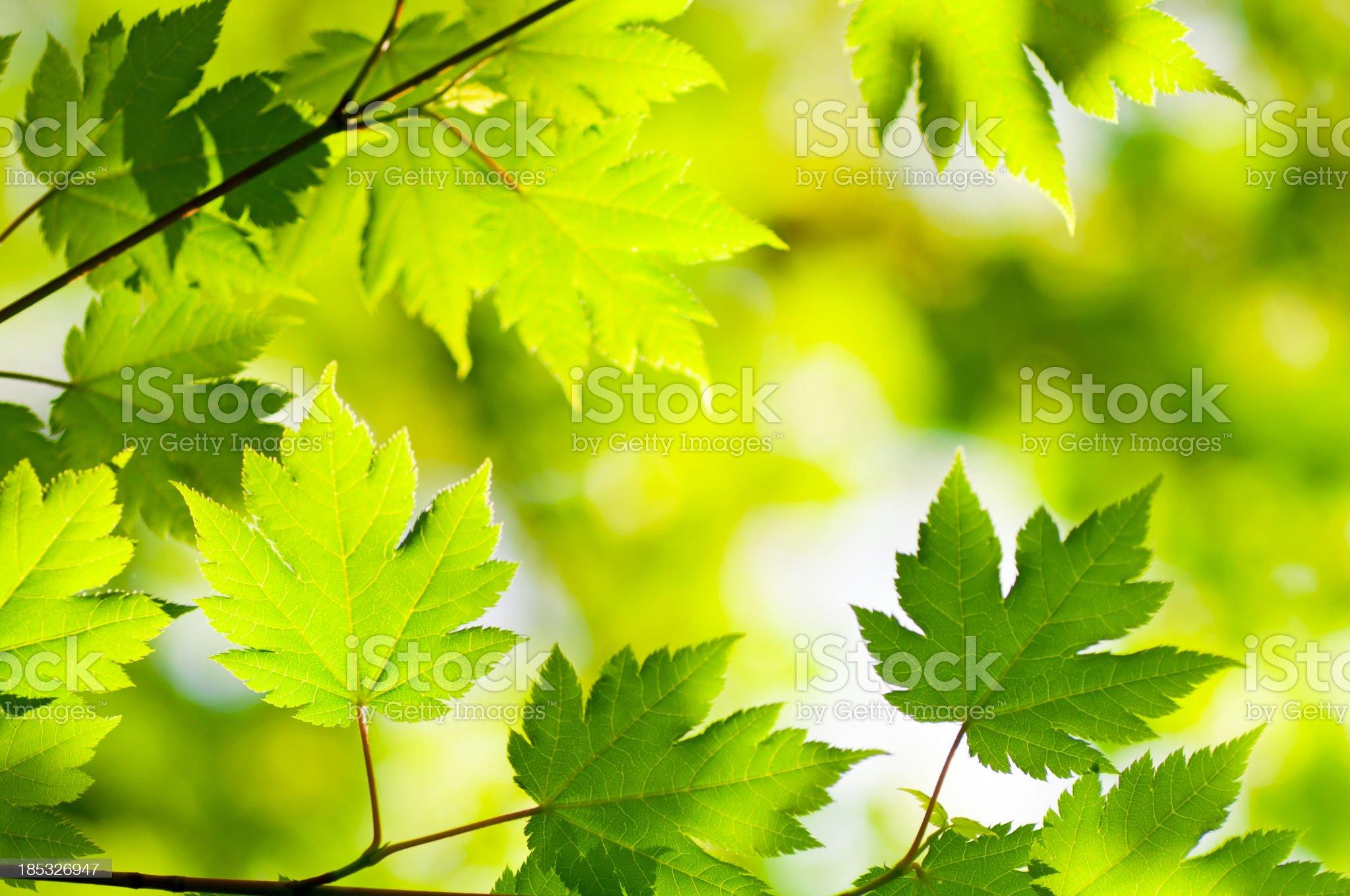 Maple Woods royalty-free stock photo