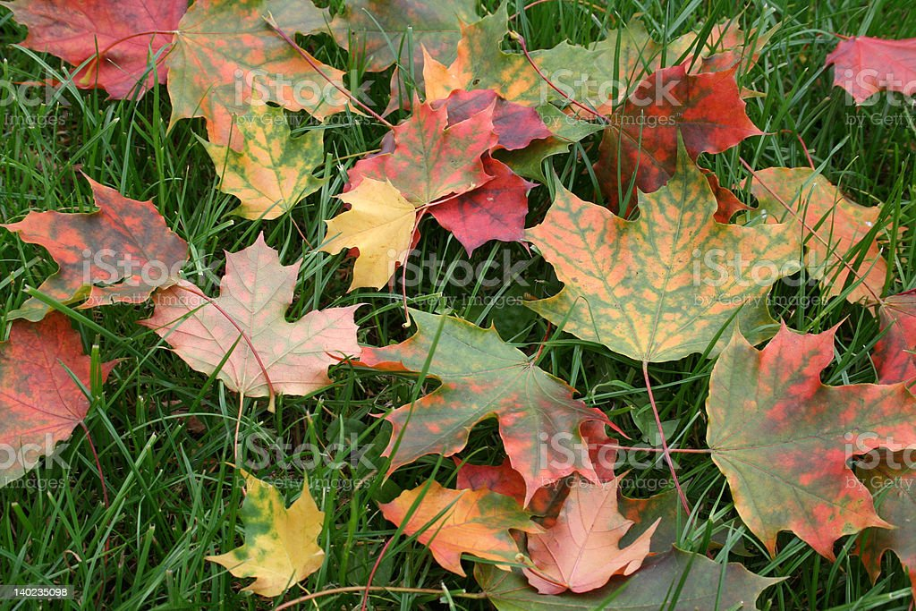 maple-leaves royalty-free stock photo