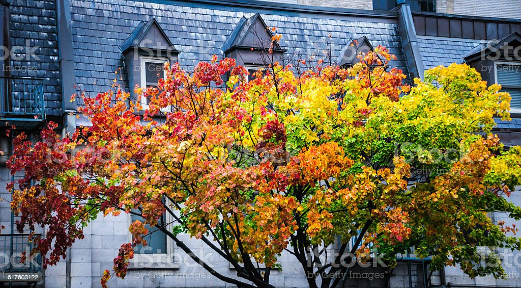 Maples Change in Montreal stock photo