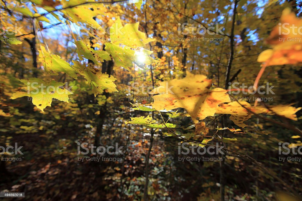 Maples Leafs stock photo