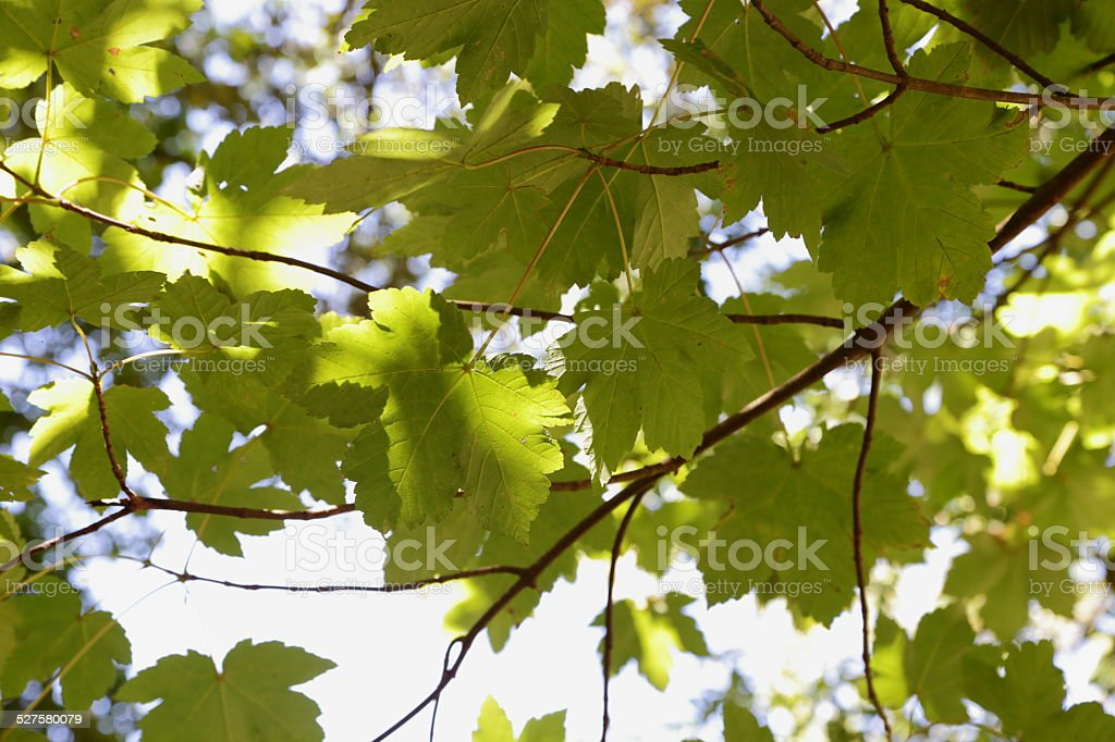 maples of Erice (Sicily) stock photo