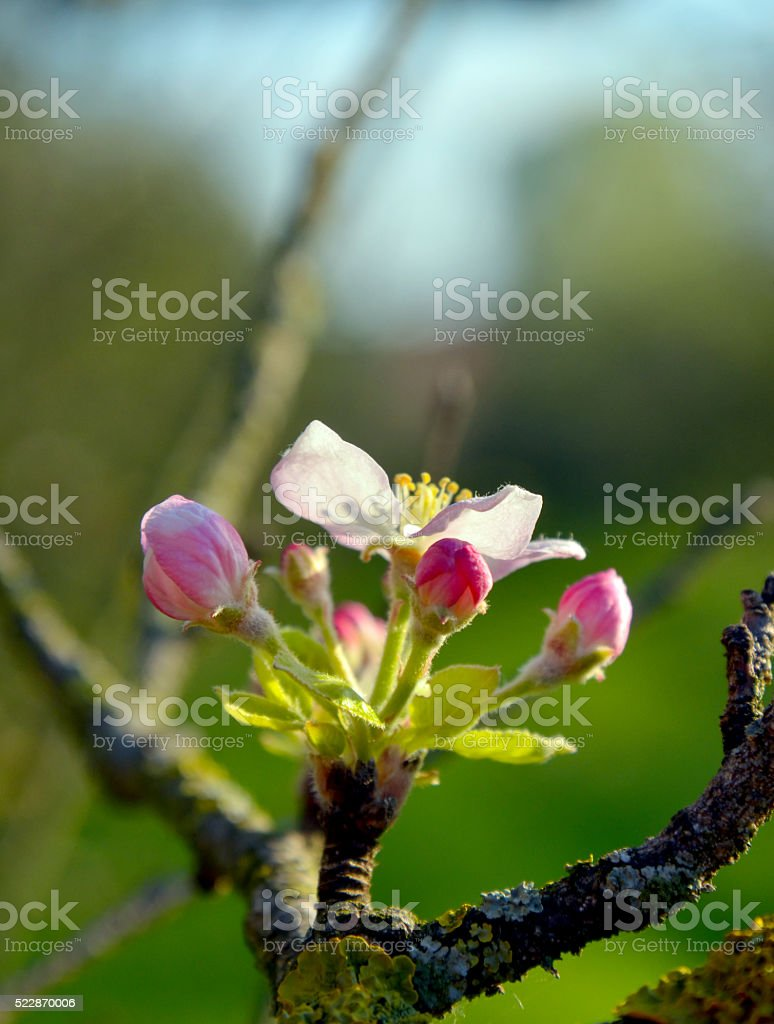 Maqro picture of an apple blossom stock photo